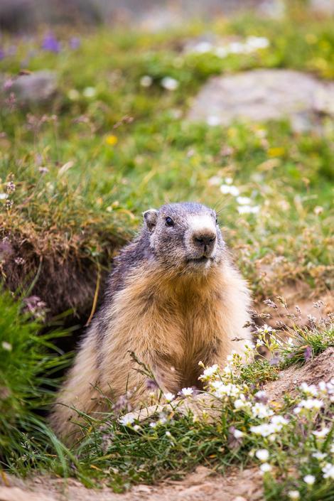 Marmotte au printemps